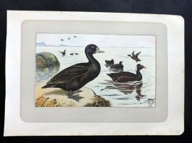 Mahler 1907 Antique Bird Print. La Macreuse Noire. Scooter